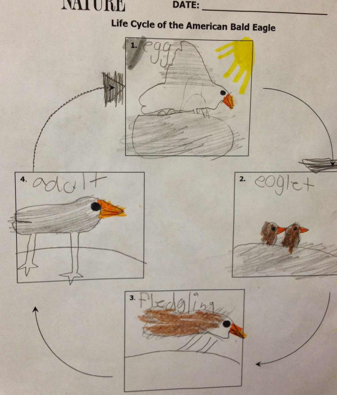 Bird Life Cycle Diagram Outdoor Flood Light Wiring Bald Eagle For Kids Matttroy