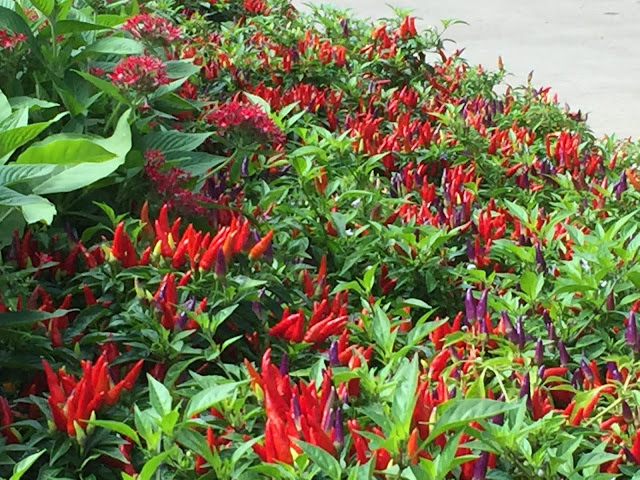 Red, yellow and purple ornamental peppers en masse.