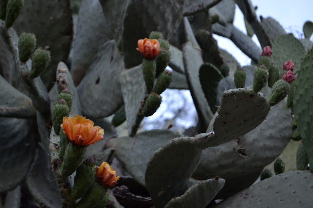flowers in red and orange and purple on the prickly pear