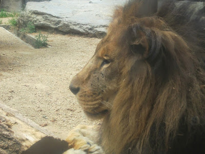 神戸市立王子動物園 ライオン