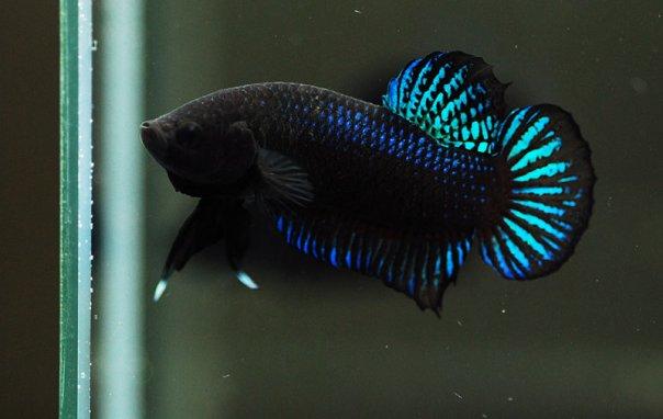 Jenis Ikan Cupang Aduan dan Hias Termahal di Indonesia ...