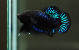 Ikan Cupang Plakat (Petarung/Aduan)