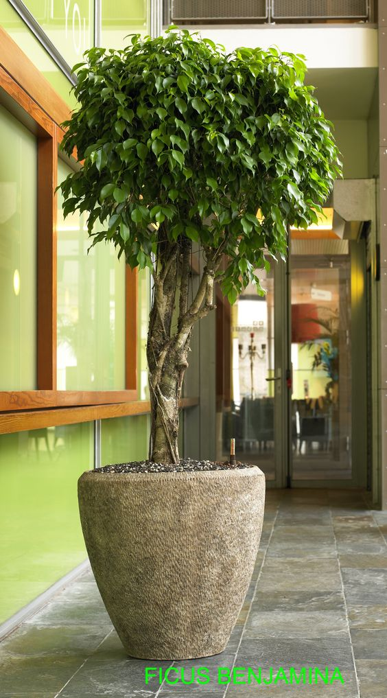 Plantas cultivar ficus dentro de casa - Plantas de interior altas ...