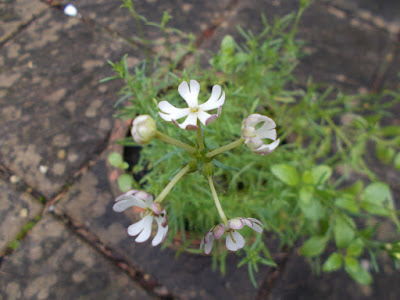 Night scented phlox Plants flowering in winter weird weather Green Fingered Blog