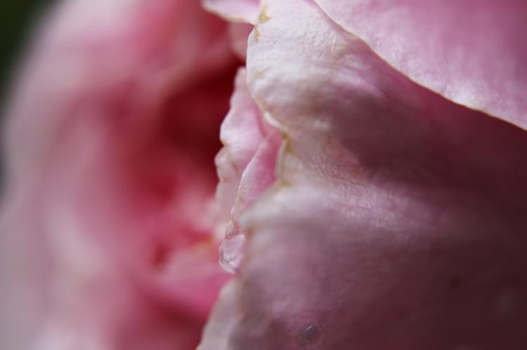 Blog & Fotografie by it's me! - Makroaufnahmen - Makro eines rosafarbenen Rosenblatts