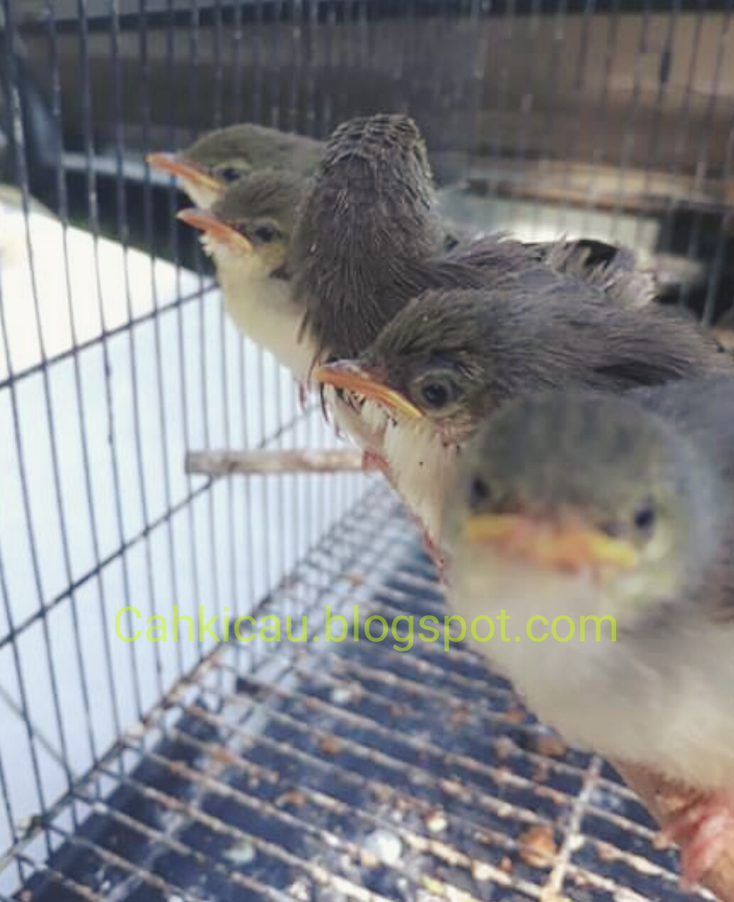 Hobi Burung Kicauan Cara Membedakan Anakan Ciblek Gunung Jantan Dan Betina