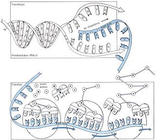 Proses Transkripsi dan translasi pada sintesis protein