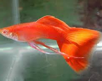 Jenis Ikan Guppy Termahal Guppy Albino Full Red Swallow Ribbon