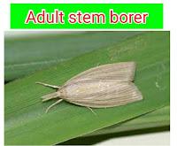 stem borer adult