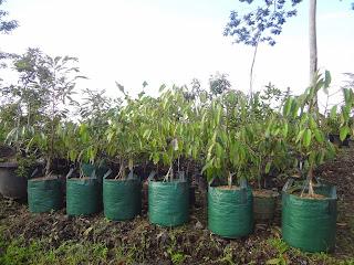 keunggulan durian menoreh, durian menoreh kalibawang, bibit durian menoreh kuning, harga durian menoreh, khasial durian, durian montong, durian bawor, deskripsi durian menoreh kuning