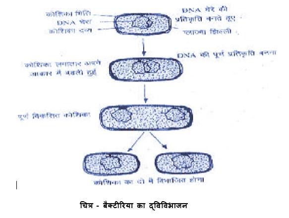 बैक्टीरिया में द्विविभाजन