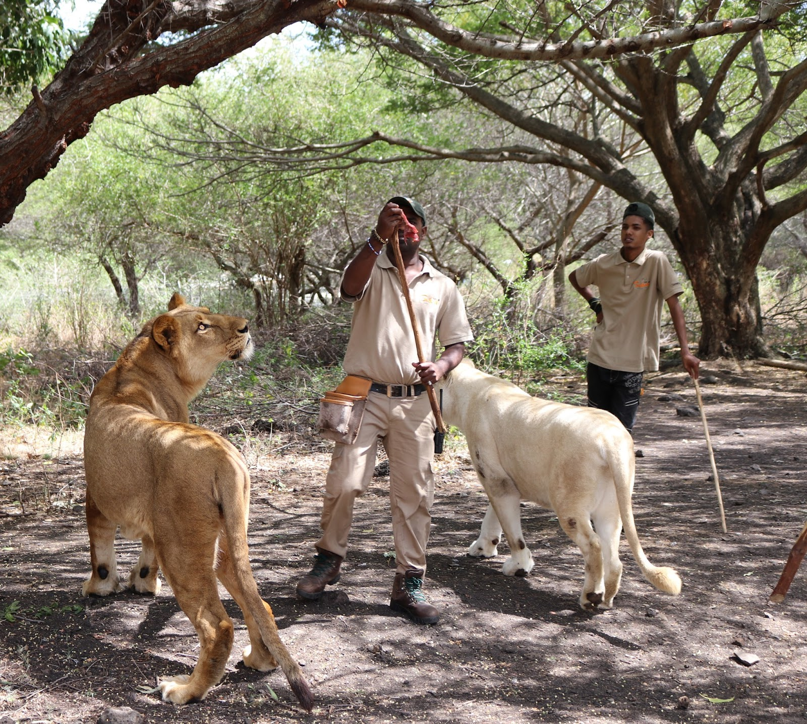 Casela Walking With Lions