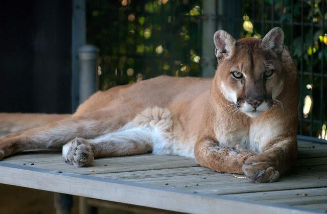 Colorado'da Sıradan Bir Gün - Bahçede Gezinen Pumalar (Dağ Aslanları)
