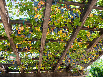 Concord Grape Trellis And Training Systems Grapevines