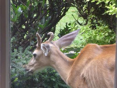 too thin deer buck