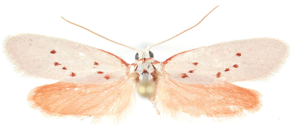 A new species of Tropical Burnet Moth from Texas