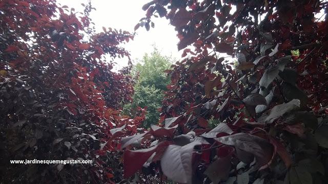 Ciruelo Japonés (Prunus ceresifera var. pisardii)