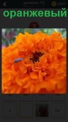 оранжевый цветок по которому ползет насекомое