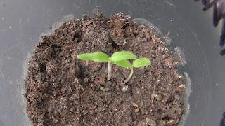 Всходы индетерминантных помидоров появились через пять дней после посева