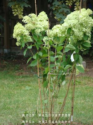 mein waldgarten rosen und petersilien schafgarben und hortensien. Black Bedroom Furniture Sets. Home Design Ideas