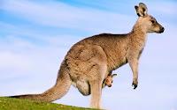 Yandan bir anne kanguru ve cebinden bakan sevimli kanguru yavrusu