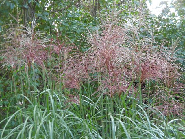 kwitnące miskanty, trawy w ogrodzie