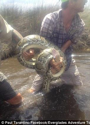 Resultado de imagem para Guia de turismo enfrenta cobra de três metros na Flórida fotos