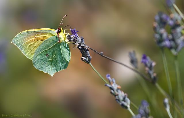 Gonepteryx cleopatra
