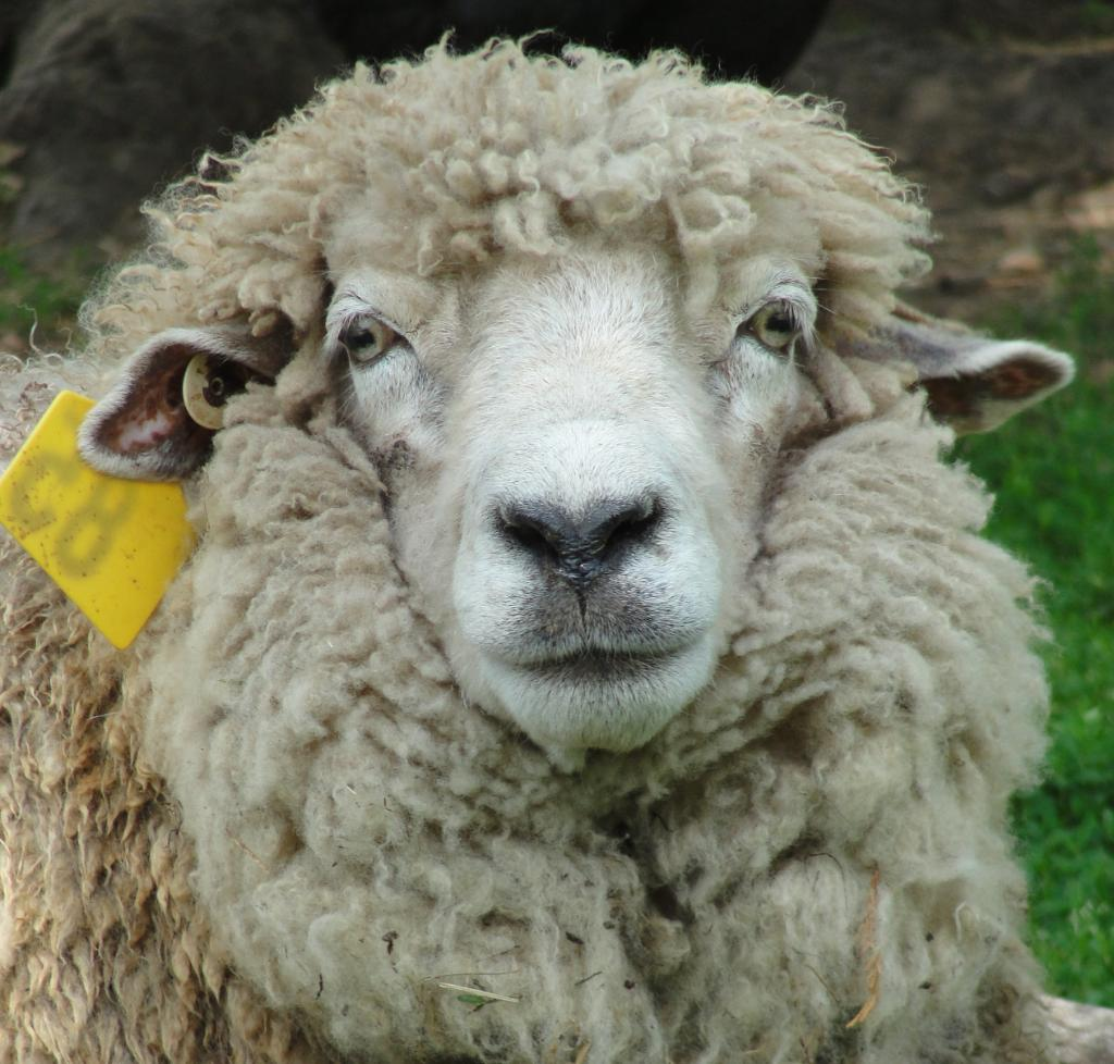 Things Is Cool Sheep Breed Romney