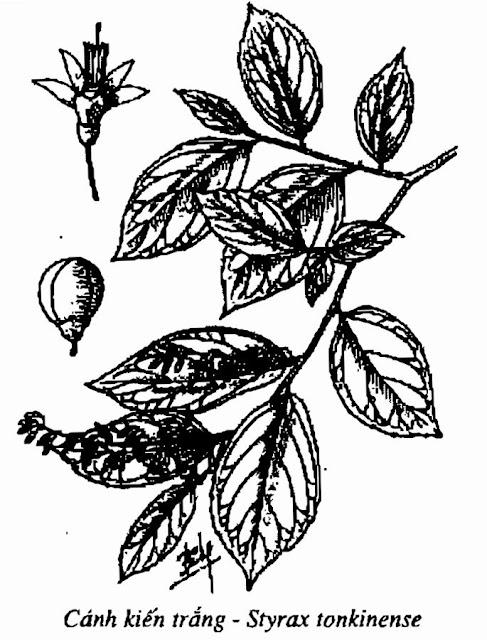 Hình vẽ CÁNH KIẾN TRẮNG - Styrax tonkinense Pierre - Nguyên liệu làm thuốc Chữa Ho Hen