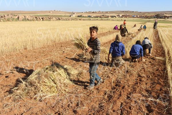 توقع إنتاج ما يقارب مليونيين قنطار من الحبوب هذه السنة بالشلف