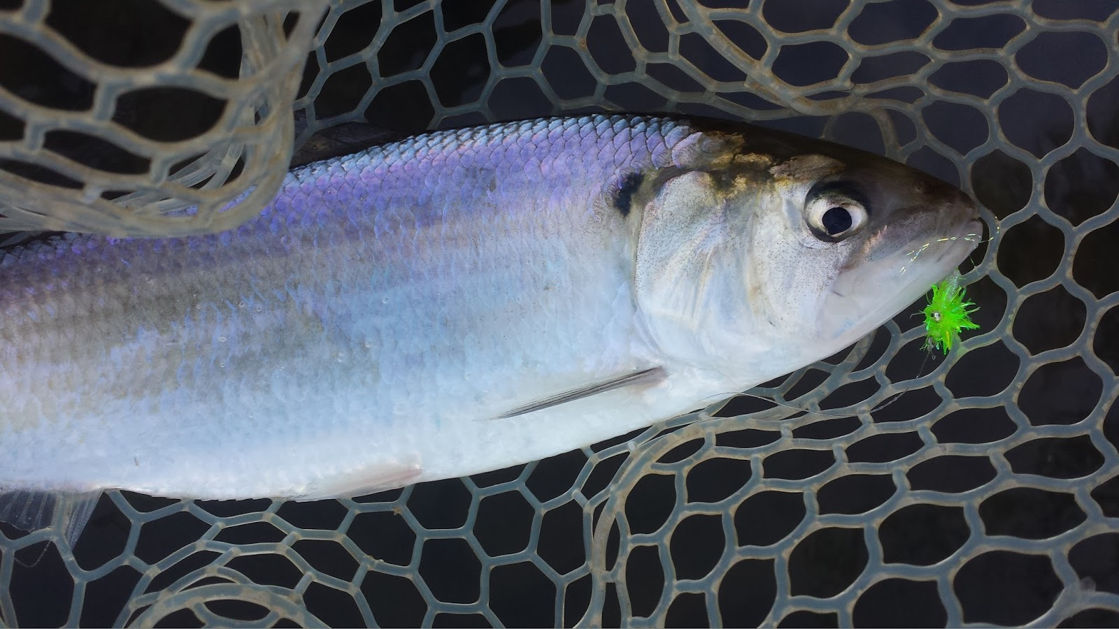 Keep Calm And Fly Fish American Shad Are Overrated