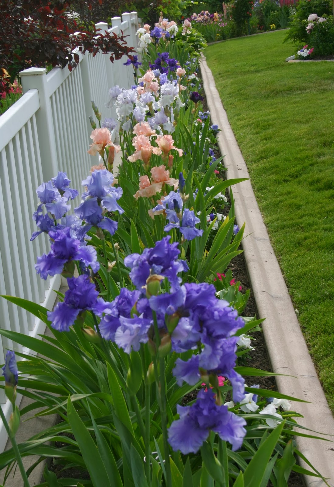 Bearded iris in a garden gardening flower and vegetables using tall bearded iris in your landscape sowing the seeds izmirmasajfo