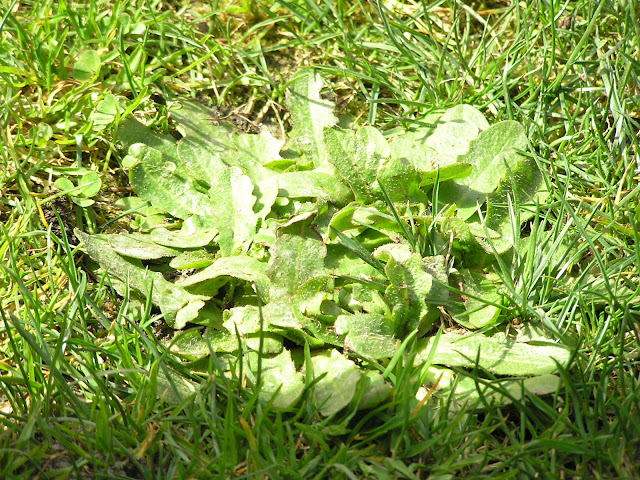 catsear edible weeds