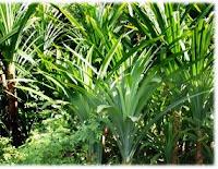 Daun Pandan sebagai salah satu potensi kerajinan berbahan alam di indonesia