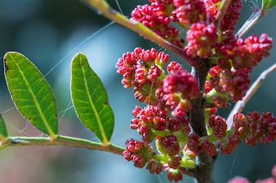 [Anarcardiaceae] Pistacia lentiscus - macro.