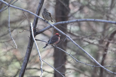 a purple finch pair