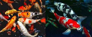 Ikan Koi, jenis-jenis dan daftar harga