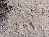 Animal tracks near Mount Mel, Indian Cove, Joshua Tree National Park