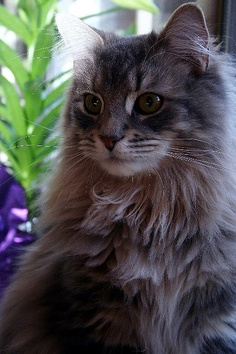Appearance and Coat colors in Maine Coons - Annie Many