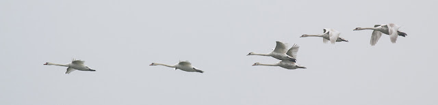 Mute Swans in flight (panorama effect)