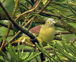 grey cheeked green pigeon