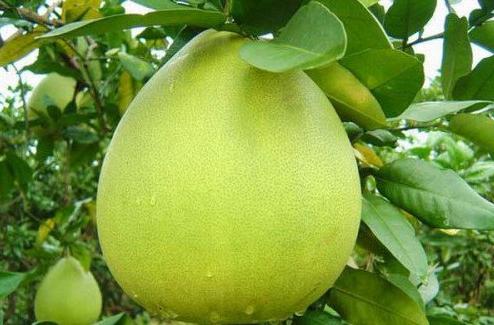 Manfaat Jeruk Bali untuk Kesehatan Tubuh