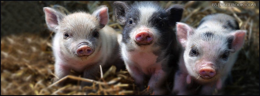 Cute Piglets Wallpaper Facebook Covers Pig Facebook Covers Timeline Cover Photo