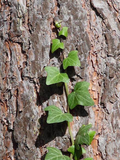 liście bluszczu