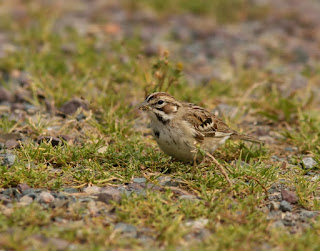 Lark Sparrow fall plumage