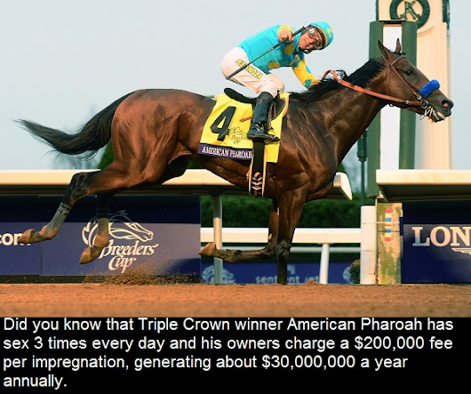 Did you know that Triple Crown winner American Pharoah has sex 3 times every day and...