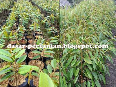 Tips Merawat Bibit Durian Agar Cepat Besar