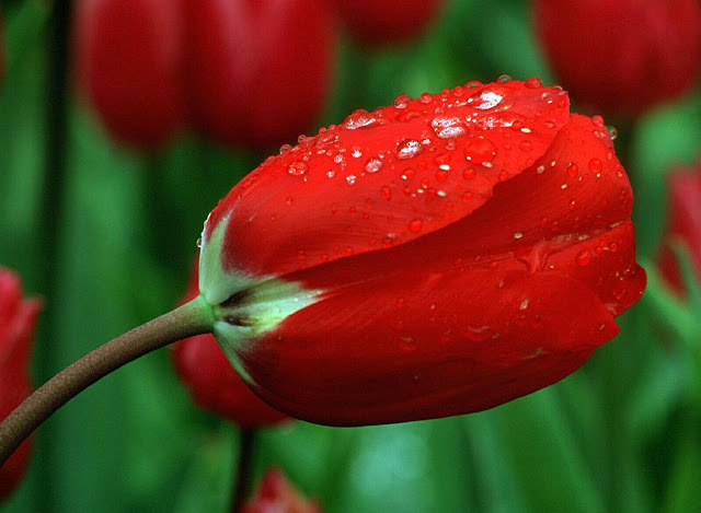 bunga mawar merah putih
