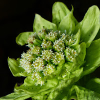 http://wild-flowers-of-europe.blogspot.nl/2015/02/petasites-japonicus.html